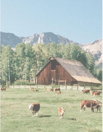 Image of cows grazing on a Colorado farm
